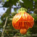 Fleur d